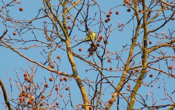 Halsbandsittich in einem Baum in der Nähe des Bergfriedhofs Heidelberg