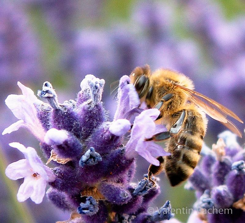 Lavendelkuss - Biene küsst die Lavendelblüte